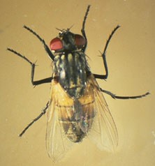 Image: House Fly